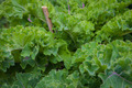 organic kale - PhotoDune Item for Sale