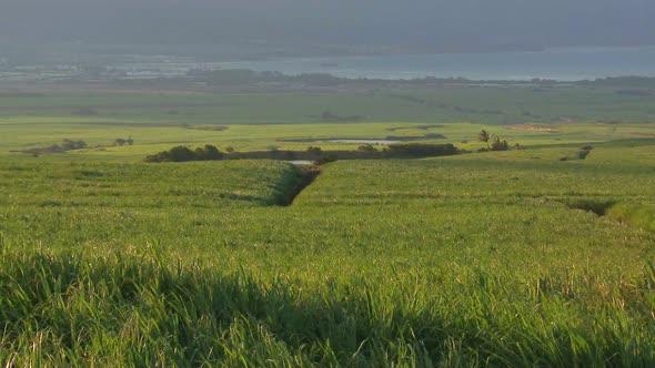 Sugar Cane Field 1