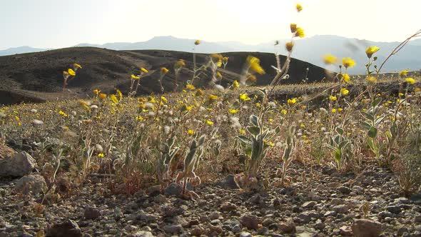 Death Valley Desert Flowers 1