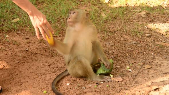 Monkey Eating Lotus Seeds Angkor Wat Temple Cambodia 2