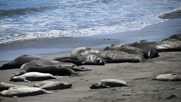 Elephant Seal Beach San Simeon California 5