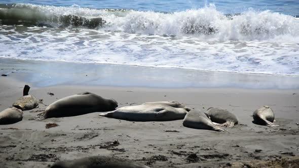 Elephant Seal Beach San Simeon California 7