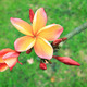 Plumeria flowers - PhotoDune Item for Sale