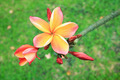 Plumeria flowers - PhotoDune Item for Sale
