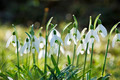 Beautiful spring flowers snowdrops, - PhotoDune Item for Sale