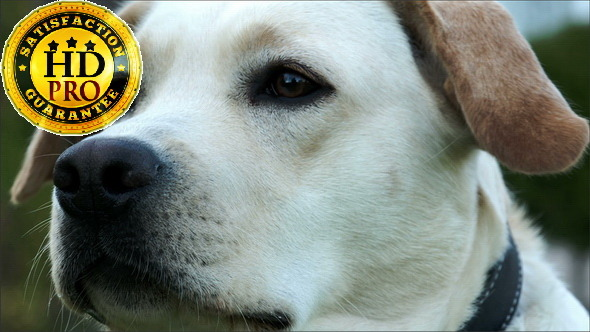 VideoHive A Cute Labrador Sniffing His Nose 10905644