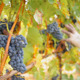 People Selecting the Best Wine Grapes