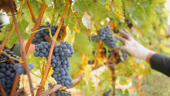 VideoHive People Selecting the Best Wine Grapes 10989408