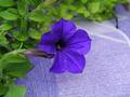 Violet Petunia flower - PhotoDune Item for Sale
