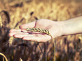 spica wheat lying on a  palm - PhotoDune Item for Sale