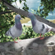 Doves on Tree Branch - VideoHive Item for Sale
