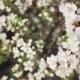 Flowering Cherrys - VideoHive Item for Sale