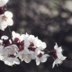 Cherry Blossoms Backlit - VideoHive Item for Sale