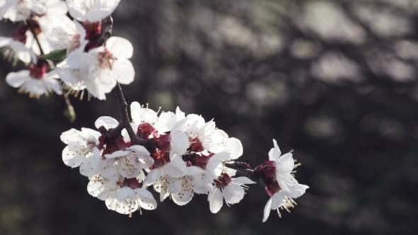 Cherry Blossoms Backlit