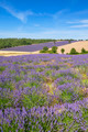 Vertical view of lavender and wheat field - PhotoDune Item for Sale