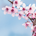 cherry blossom on blue background - PhotoDune Item for Sale