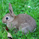 Baby rabbit in grass - PhotoDune Item for Sale