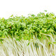 Isolated Watercress Sprouts - PhotoDune Item for Sale