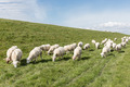 Flock of sheep grazing along a Dutch dike - PhotoDune Item for Sale
