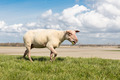 Sheep with red head grazing at Dutch dike - PhotoDune Item for Sale