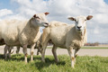 Sheep at sunny day in spring on top of a Dutch dike - PhotoDune Item for Sale