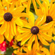 Black Eyed Susans - PhotoDune Item for Sale