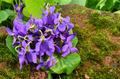 Bouquet of fragrant violets - PhotoDune Item for Sale