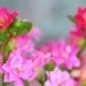 Pink Kalanchoe - VideoHive Item for Sale