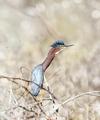Green Heron - PhotoDune Item for Sale