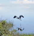 Great Blue Heron - PhotoDune Item for Sale