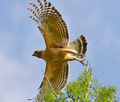 Red Shouldered Hawk - PhotoDune Item for Sale