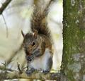 Eastern Gray Squirrel - PhotoDune Item for Sale