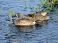 Blue-winged Teal Ducks - PhotoDune Item for Sale