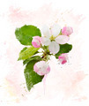 Apple Tree Blossom.Watercolor - PhotoDune Item for Sale
