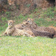 The Cheetah (Acinonyx Jubatus) - VideoHive Item for Sale