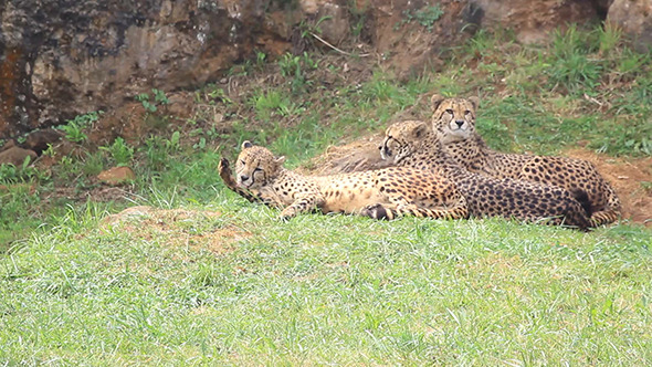 The Cheetah Acinonyx Jubatus