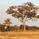 giraffes in Botswana - PhotoDune Item for Sale