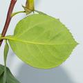 Rose leaf - PhotoDune Item for Sale