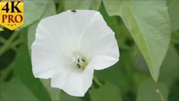 The White Petals of the Field Bindweed Flower