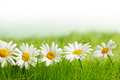 White daisy flowers in green grass - PhotoDune Item for Sale