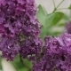 Lilacs Blooming  - VideoHive Item for Sale