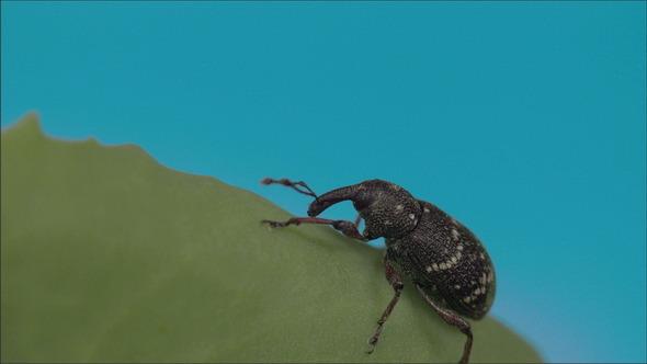 The Black Beetle on the Leaf