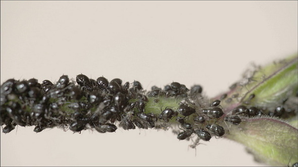 The Flock of Small Black Aphid on a Stem
