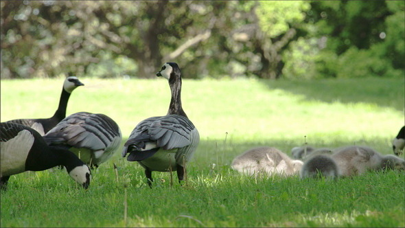 Four Goose and the Goslings