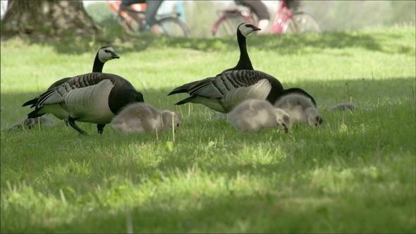 Couple of Barnacle Goose on the Grass