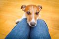 dog begging on lap - PhotoDune Item for Sale