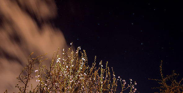 Blooming Apricot Tree Under Night Sky