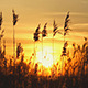 High Reed Against Sunset Sky In Wind Day - VideoHive Item for Sale
