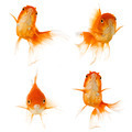 Gold fish - PhotoDune Item for Sale