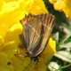 Butterfly on Yellow Flower - VideoHive Item for Sale